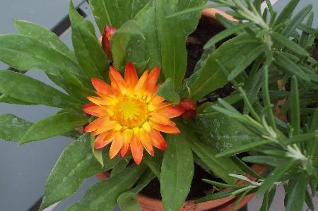 stawflower
